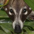 Coati à nez blanc