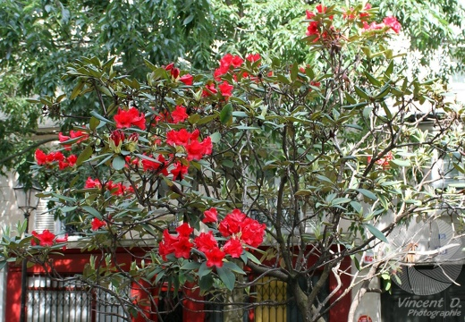 Le rhododendron rouge